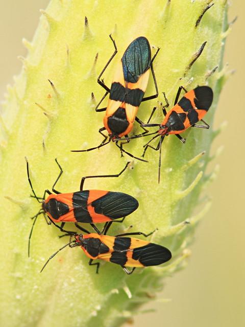 Milkweed Bugs 20160925