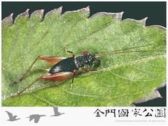 黑脛草蟋蟀雄蟲