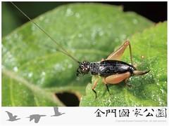黑脛草蟋蟀雌蟲