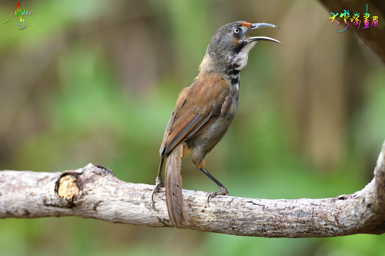Rusty-cheeked_Scimitar_Babbler_5428