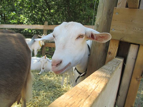 Goats of the Great Canadian Soap Company, 4 #pei #oysterbed #goats #soap