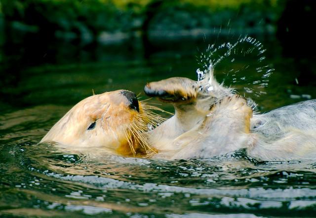 Sea Otter_23
