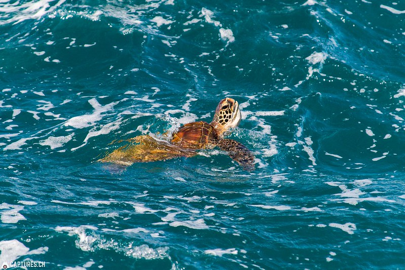 Green Sea Turtle - Kauai