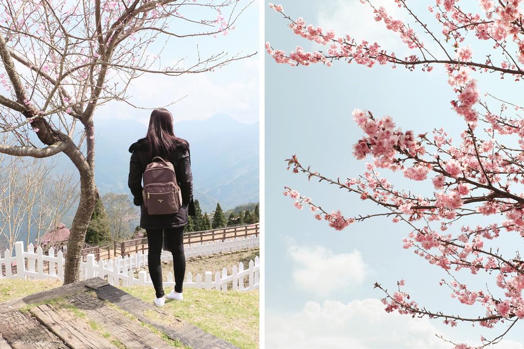 cingjing farm-cherry-blossom-taiwan