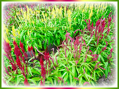 Colourful blooms of Celosia (Plumed Cockscomb, Silver Cock's Comb) at a nursery in our neighbourhood, 4 Feb. 2016