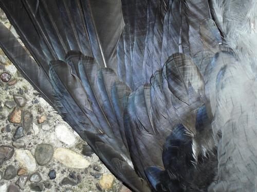 Tote Nebelkrähe