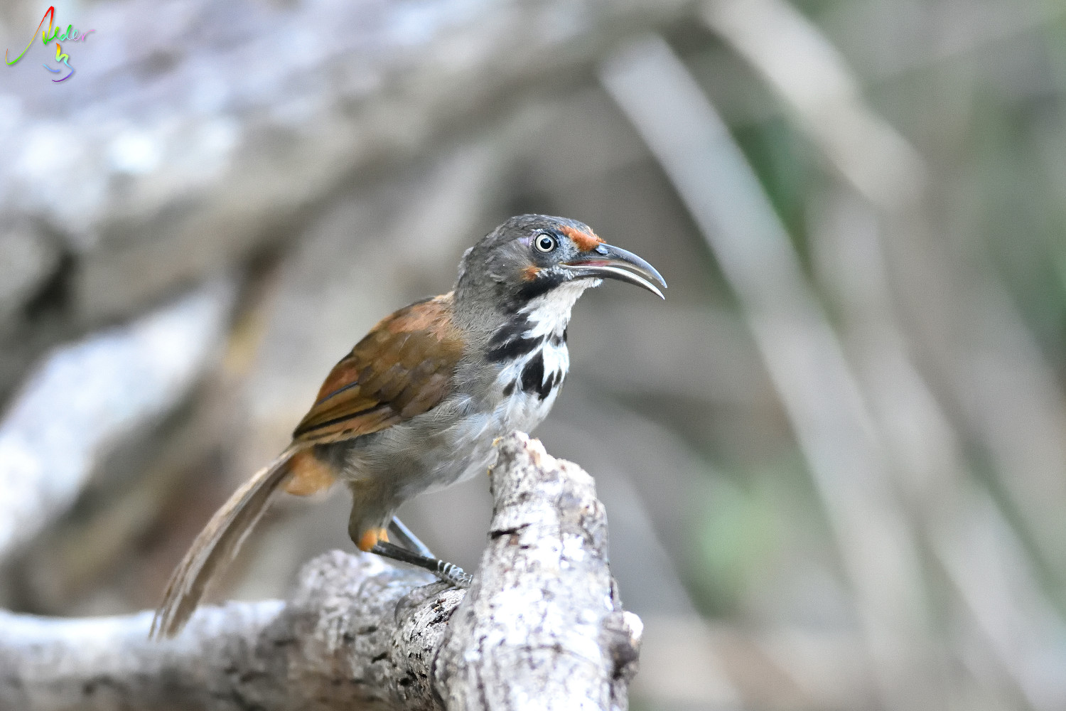 Rusty-cheeked_Scimitar_Babbler_5017