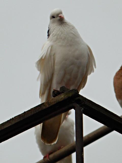 голубь | HoroshoGromko.ru