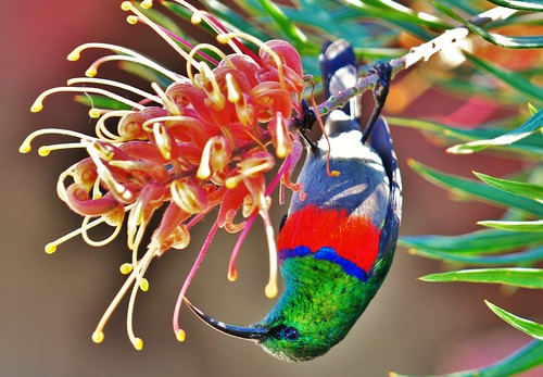 Greater Double-Collared Sunbird | by Gareth Rasberry