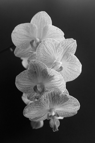 Black and White Orchid 3 | by Elentari86