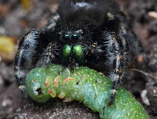 Jumping Spider Phidippus Audux with meal | by Kezdaman