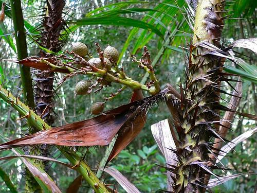 Rattan Palm (Calamus rotang) with fruits