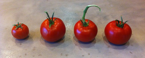 Better Boy, Moscow, Jet Setter, & Country Taste tomatoes | by windley