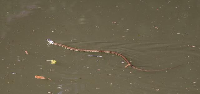 Grass Snake 054 (972)