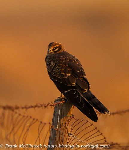 Female Montagu's Harrier in early morning sunlight-4360 | by Paradise in Portugal
