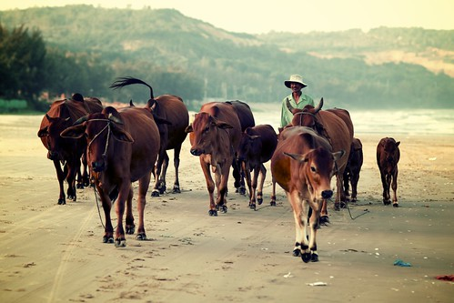 Herding Cattle on Mũi Né Beach, Vietnam | by calvinistguy