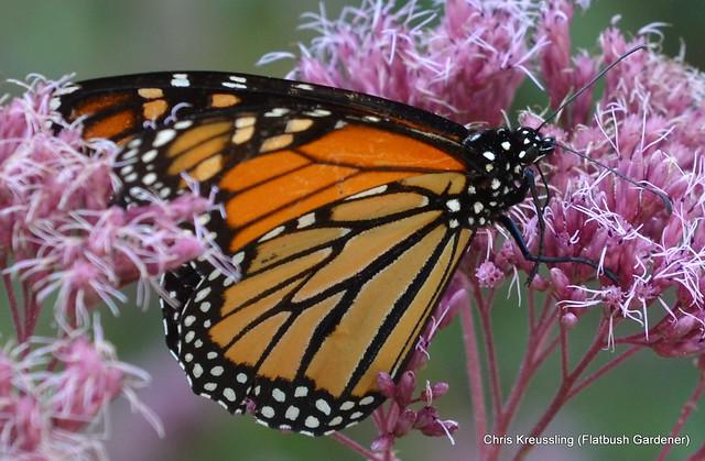 Danaus plexxipus, Monarch, on Eupatoridelphus maculatus (Eupatorium maculatum), Spotted Joe Pye Weed