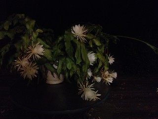 Night blooming cereus -- 18 blossoms! | by Fancy Horse