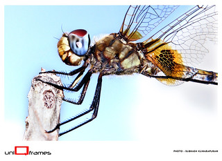 ~ Dragon Fly ~ | by Subhash Kumarapuram