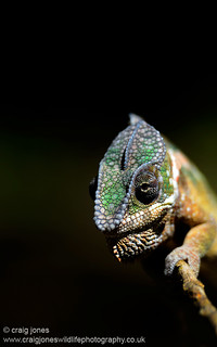 Panther Chameleon | by Craig Jones Wildlife Photography