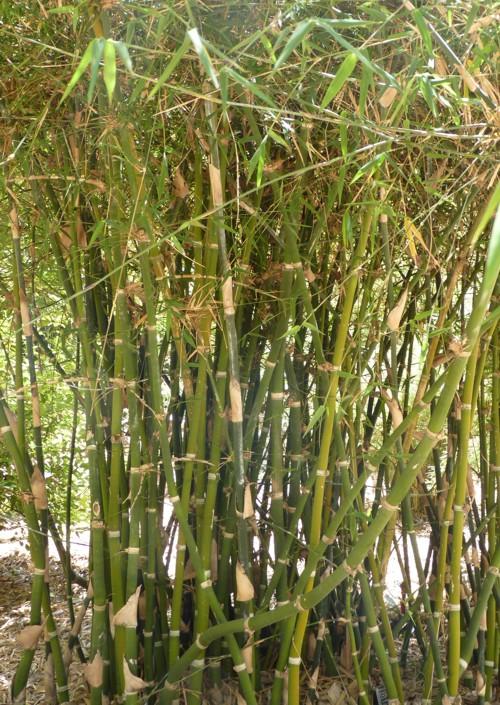 Bambusa burmanica 29432608782_44ede7d933_o