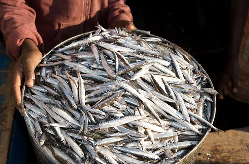 Capenta fish in bucket, Lake Malawi . Photo by Patrick Dugan, 2008.