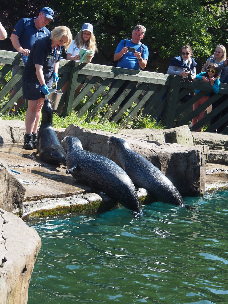 Feeding Common Seals at Scottish Sea Life Sanctuary, Oban.