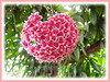 Hoya (Wax Plant, Waxvine, Waxflower)