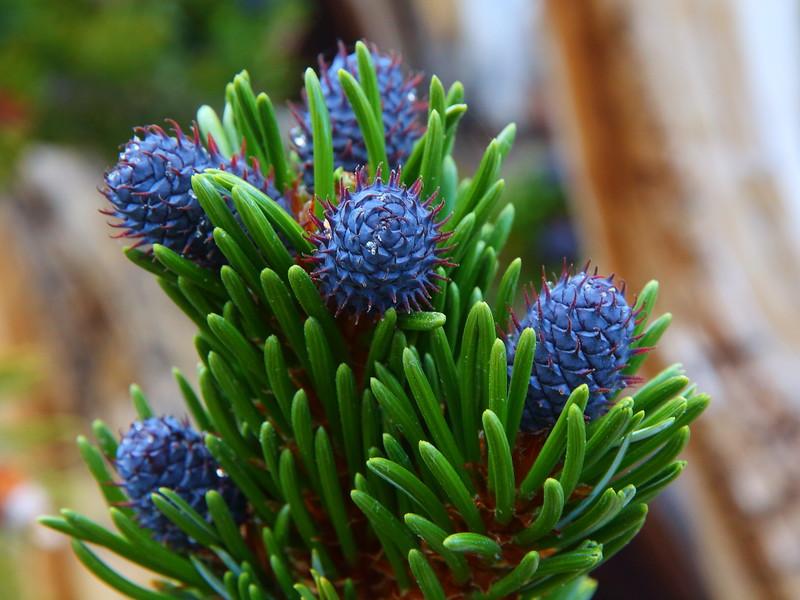 IMG_6560 Bristlecone Pine Female Cone