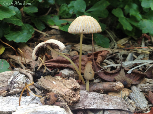 Umbrellas aka Fungi