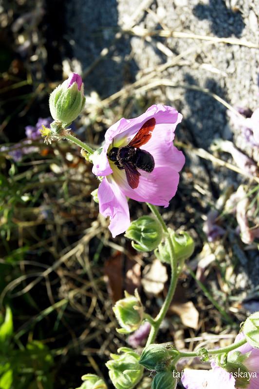 Насекомое опыляет цветок штокрозы