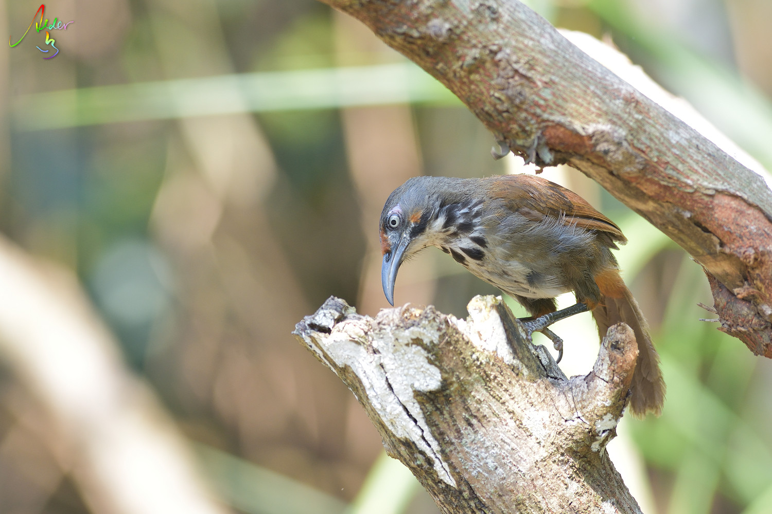 Rusty-cheeked_Scimitar_Babbler_4812