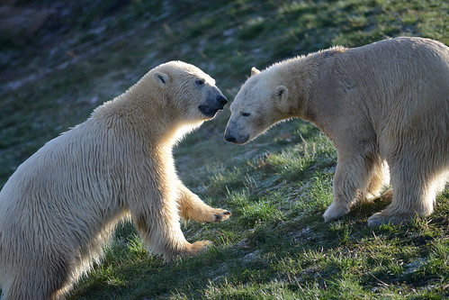 Polar bears meet at Yorkshire Wildlife Park