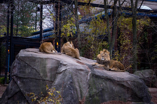 African Lion and Lionesses at Potter Park Zoo | by david_shane
