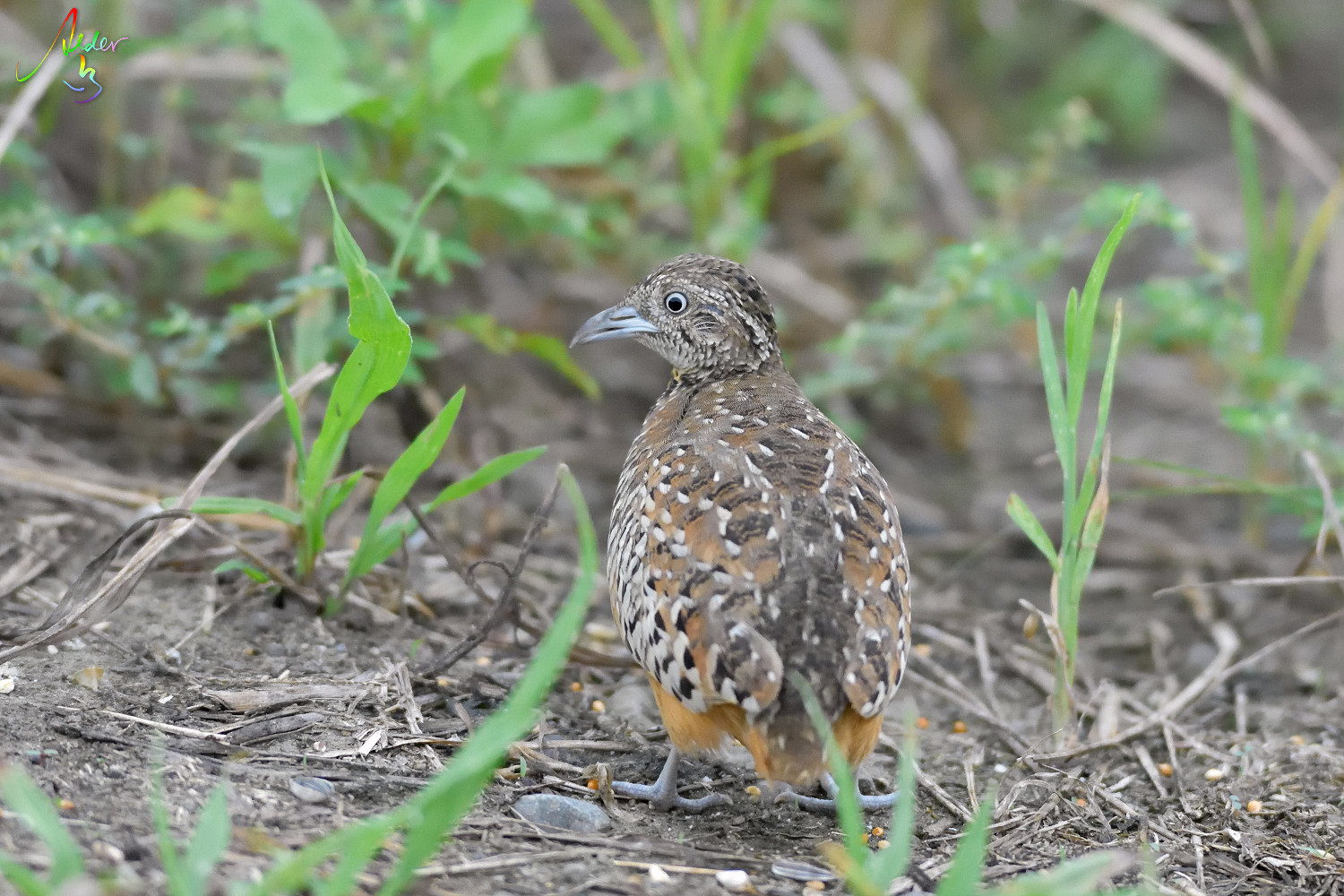 Barred_Buttonquail_1242