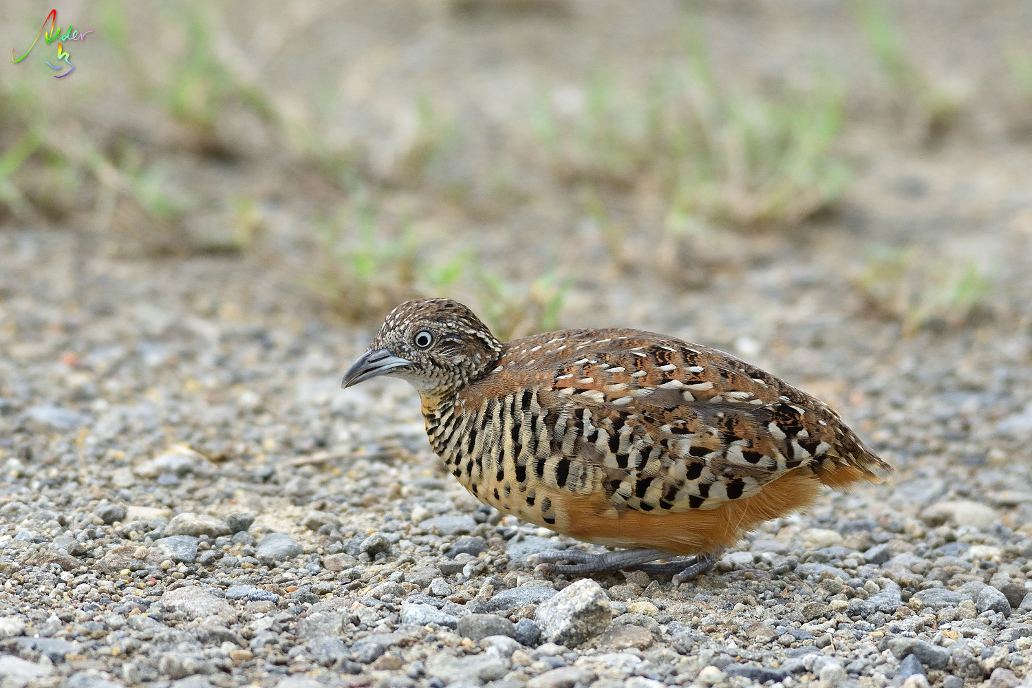 Barred_Buttonquail_3148