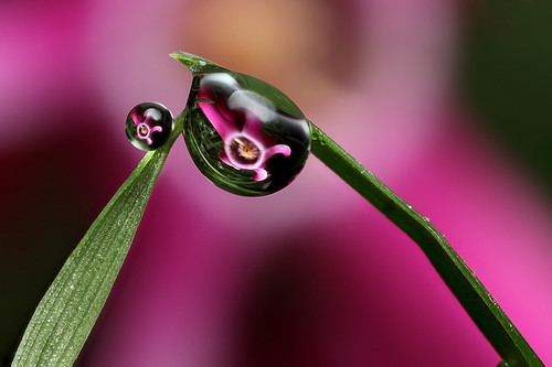 Miniature cyclamen dewdrop refraction #2 | by Lord V