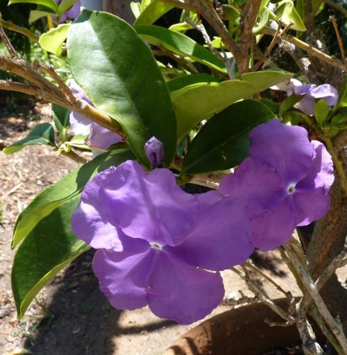 Brunfelsia pauciflora 29090827734_e1625c923c_o