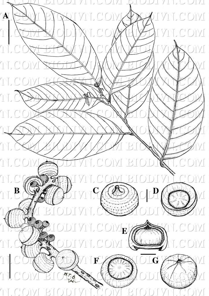 Lithocarpus dahuoaiensis2