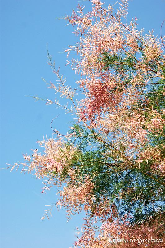 Розовый тамарикс