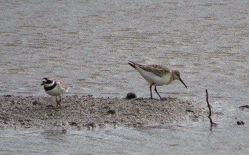 Ringed Plover Charadrius hiaticula and Curlew Sandpiper Calidris ferruginea Tophill Low NR, East Yorkshire August 2016