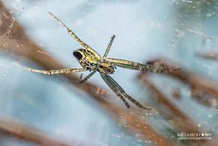 Tent web spider (Cyrtophora cicatrosa) - DSC_9378b