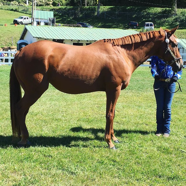 Morgan horse judging #tunbridgefair