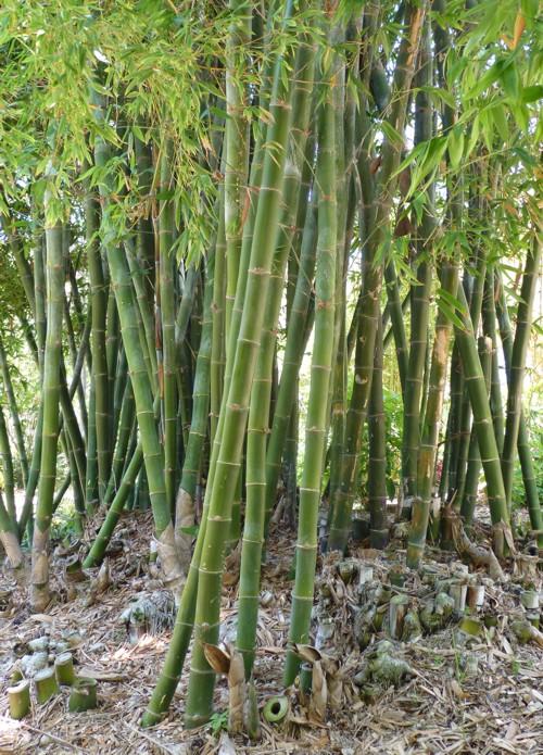 Bambusa beecheyana 29506988406_f42688f857_o