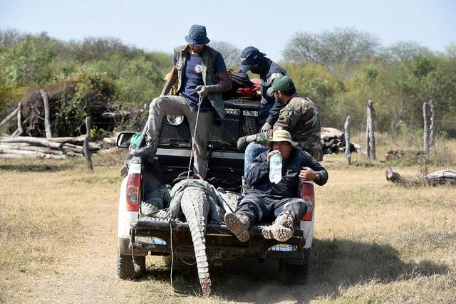 Voluntarios salvan caimanes en Paraguay