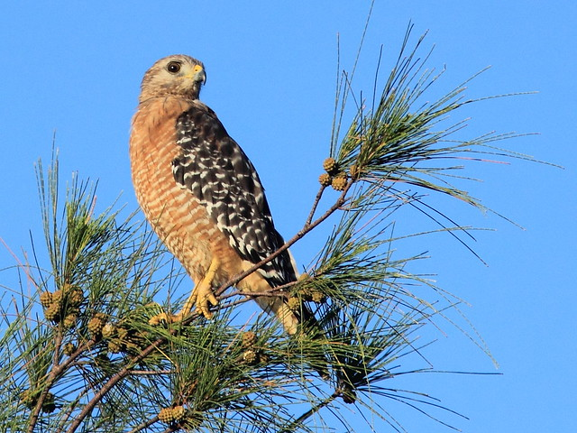 Red-shouldered Hawk 03-20160823
