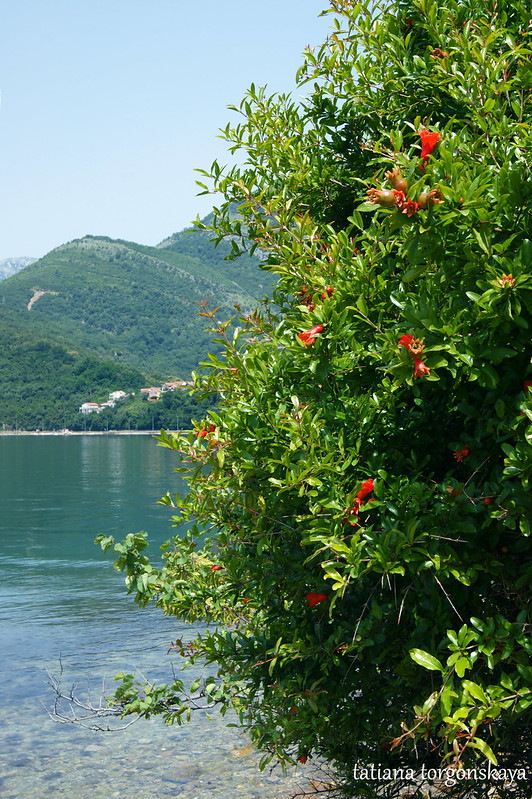 Гранатовое дерево на берегу моря