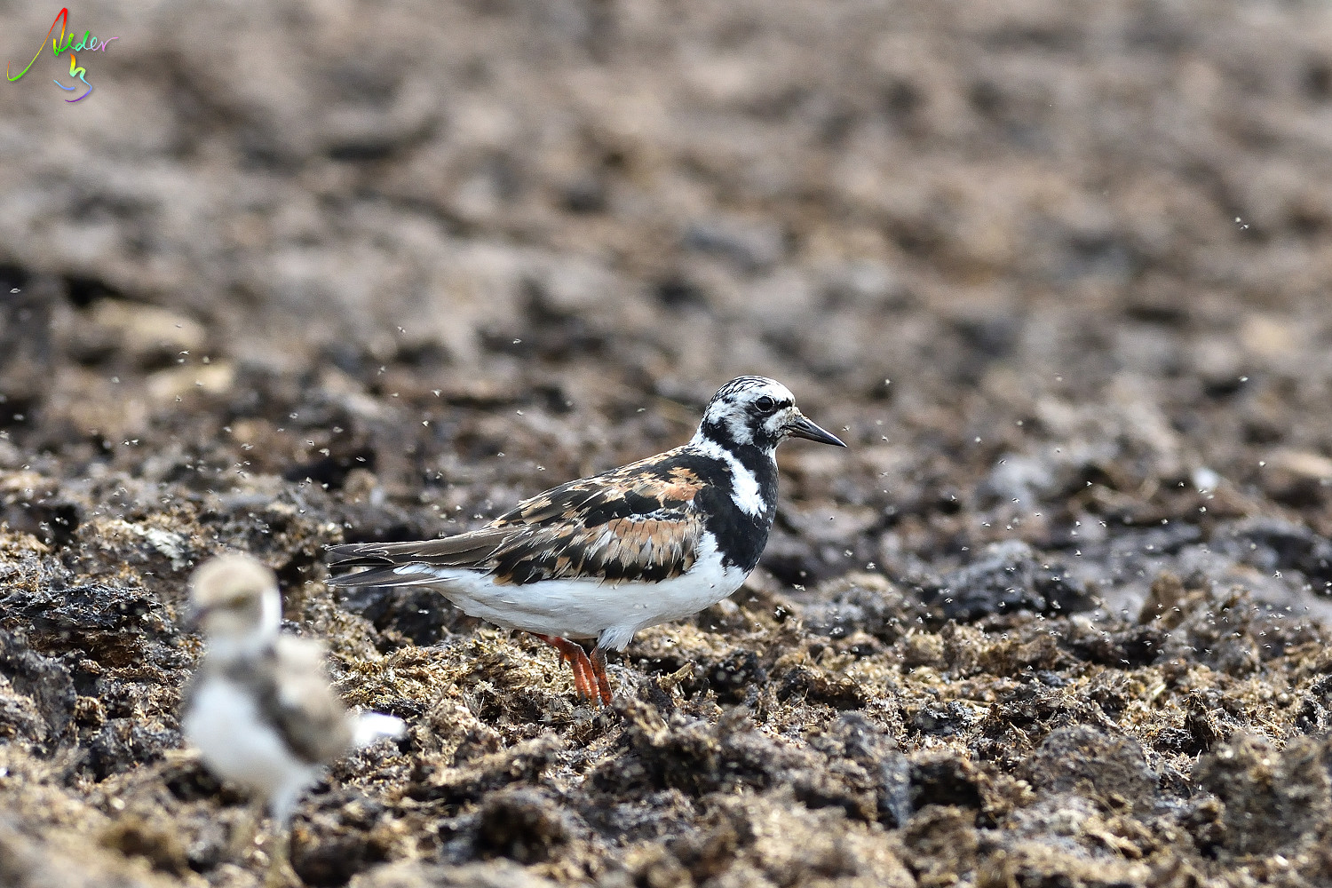 Ruddy_Turnstone_8263