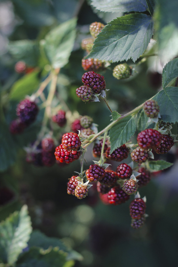 Brombeeren_8, thecurlyhead, the curly head, blog, blackberries, brombeeren, photography, visual diary, food fotografie, amelie niederbuchner