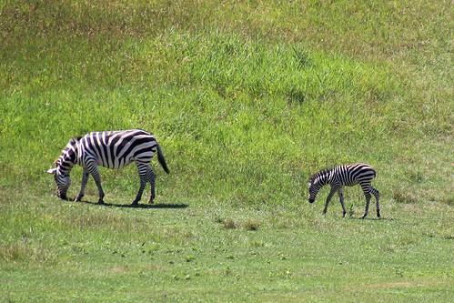 IMG_8061_Grant's_Zebra_&_Foal